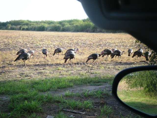 Wild Turkeys  --  Kingsville TX